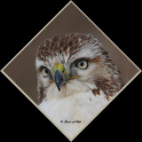 20111222 691 1c1r1 Red-tailed Hawk.jpg