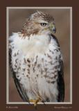 20111222 758 SERIES - Red-tailed Hawk, juv .jpg