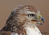 20111222 1250  SERIES - Red-tailed Hawk.jpg