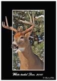 20101218 226 1r1 SERIES - White-tailed Deer.jpg