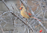 20111222 232 Northern Cardinal.jpg