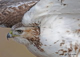 20111222 901 1c1 Red-tailed Hawk.jpg