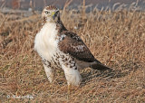 20111222 1329 Red-tailed Hawk.jpg