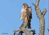 20111028 - 1 493 SERIES - Red-tailed Hawk.jpg