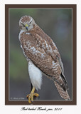 20111222 1695 Red-tailed Hawk.jpg