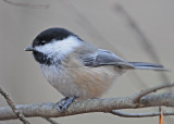 20111027 003 Black-capped Chickadee.jpg