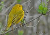 20090501 183 Yellow Warbler.jpg