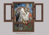 20111212 - 2 156  SERIES -  Red-tailed Hawk.jpg