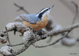 20111027 193 Red-breasted Nuthatch.jpg