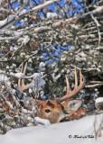 20111229 331 SERIES - White-tailed Deero.jpg
