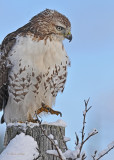 20111226 388 Red-tailed Hawk.jpg