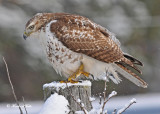 20111226 405 Red-tailed Hawk, juv.jpg