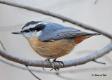 20111027 113 Red-breastyed Nuthatch.jpg