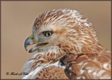 20111222 991 Red-tailed Hawk.jpg