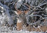 20111229 420 SERIES - White-tailed Deer.jpg