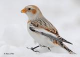 20120123 - 1 151 Snow Bunting.jpg