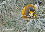 20120126 1035 Evening Grosbeak.jpg