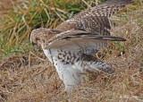 20111222 1428 Red-tailed Hawk.jpg