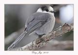 20120126 1371 1r1 Gray Jay.jpg