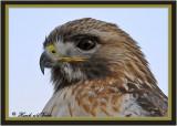 20100210 1521 1r1 SERIES - Red-tailed Hawk.jpg