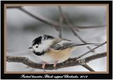 20120126 1459 1r1 Black-capped Chickadee.jpg