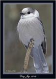 20120126 1133 1r1 Gray Jay.jpg