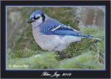 20120126 1253 1r1 Blue Jay.jpg