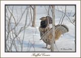 20120208 - 1 566 SERIES - Ruffed Grouse.jpg