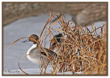 20120213 081 Northern Pintail.jpg