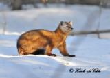 20120208 - 1 1241 SERIES - Pine Martein.jpg