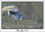 20120208 - 2 627 Blue Jay.jpg