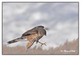 20120222 097 Sharp-shinned Hawk.jpg