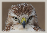 20111222 745 1c3a  SERIES - Red-tailed Hawk.jpg