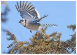20120204 136 Blue Jay.jpg