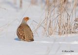 20120228-2 044 SERIES - Gray Partridge.jpg
