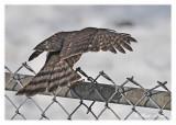 20120222 083 SERIES - Sharp-shinned Hawk.jpg