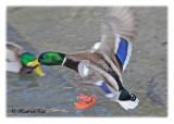 20120205 180 SERIES - Mallard.jpg