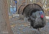 20120309 114 Wild Turkey.jpg