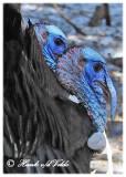 20120309 204 Wild Turkeys3.jpg