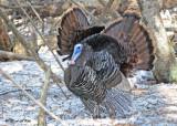 20120309 217 Wild Turkeys.jpg