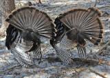 20120309 239 Wild Turkeys.jpg