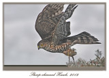 20120222 048 1r2a Sharp-shinned Hawk.jpg