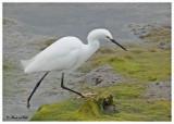 20120322 Mexico 505 SERIES - Snowy Egret .jpg