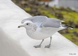 20120322 Mexico 469 California Gull.jpg
