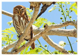 20120322 Mexico 730 Ferruginous Pygmy Owl.jpg
