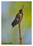 20120322 Mexico 993 Doubldays Hummingbird.jpg
