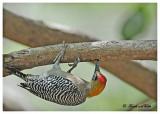 20120322 Mexico 894 SERIES - Golden-cheeked Woodpecker.jpg