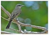 20120322 Mexico 798 SERIES - Tropical Kingbird.jpg