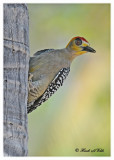 20120322 Mexico 698 Golden-cheeked Woodpecker.jpg