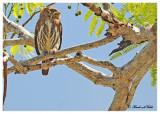 20120322 Mexico 715 Ferruginous Pygmy Owl.jpg